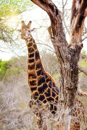 South African giraffe in Kruger National Park with sun, haze and flare