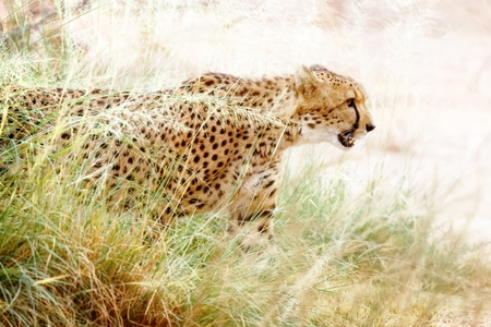 Cheetah coming out of tall grass in stalking position 版權商用圖片