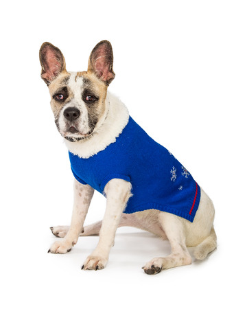 Crossbreed dog sitting to side wearing a blue winter sweater