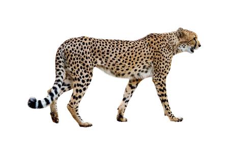 아프리카 치타 산책의 프로필입니다. 흰색으로 격리.