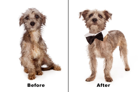 rescued: Before and after photo of a rescued dog that was scared and dirty. Now clean, groomed and confident
