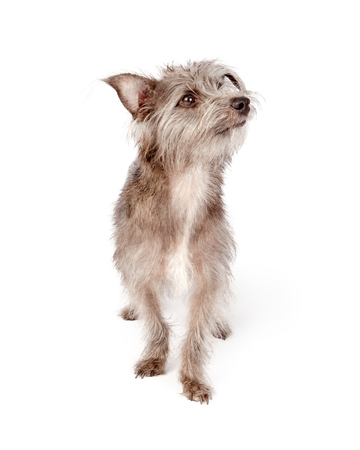 Cute scruffy mixed small terrier breed dog with attentive expression, looking to side Reklamní fotografie - 71190300