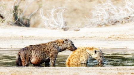 animales safari: Embarazada manchado hiena hembra cuidado personal masculino, ya que se bañan en el estanque en el Parque Nacional Kruger, Sudáfrica Foto de archivo