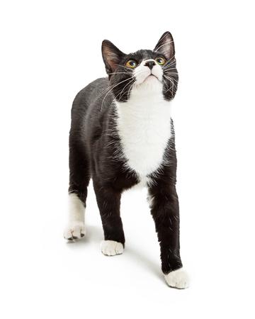 outs: Cat with black and white tuxedo markings walking over white background and looking up