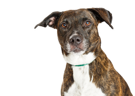 Close-up portrait of mixed breed large dog with brindle coat looking into camera Imagens