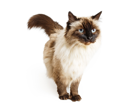 outs: Ragdoll mixed breed cat standing over white background with unhappy expression