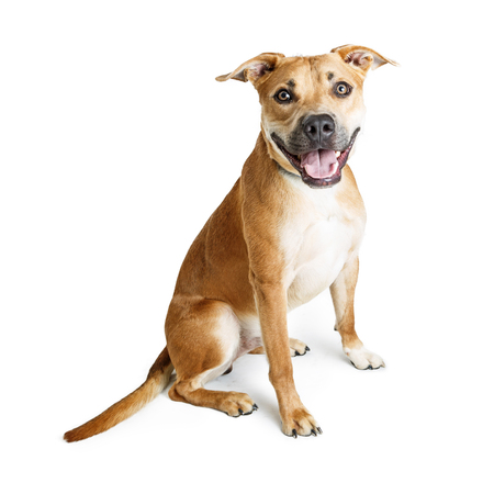 Happy and friendly Pit Bull crossbreed dog sitting down on white background with smiling expression Stock Photo