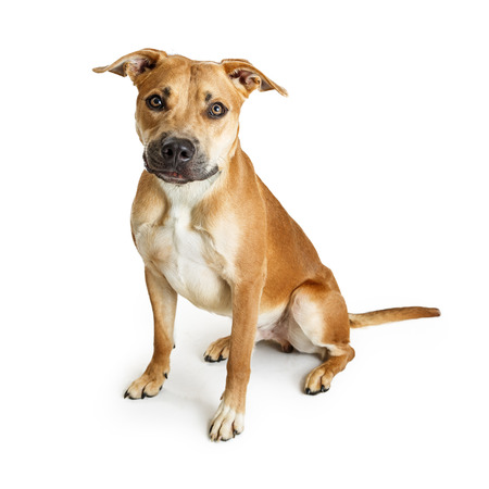 sit on studio: Beautiful Pit Bull crossbreed brown color dog sitting on white background Stock Photo