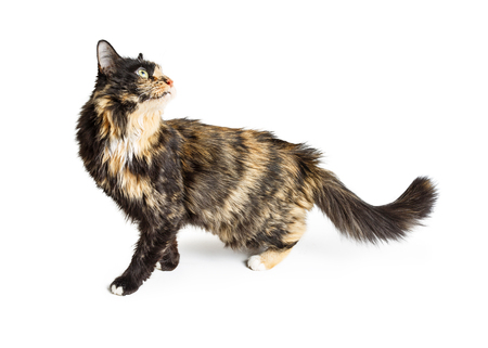 Pretty cat with orange, brown and black fur walking to side and looking back over white background Stock Photo - 72327893