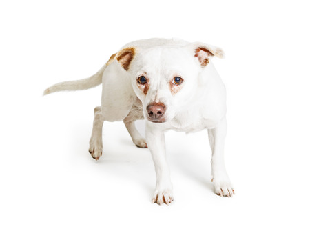 rescued: Small breed rescued dog with scared and timid expression and red tear stains under eyes