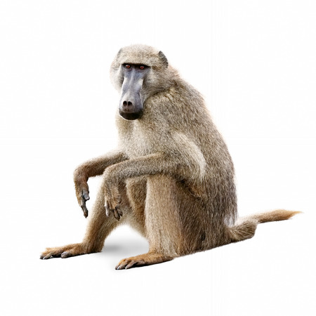 African baboon sitting down and looking forward. Isolated on white.