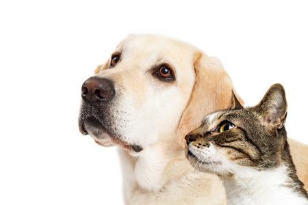 Gele Labrador hond en kat samen over wit kijken naar kant met ruimte voor tekst