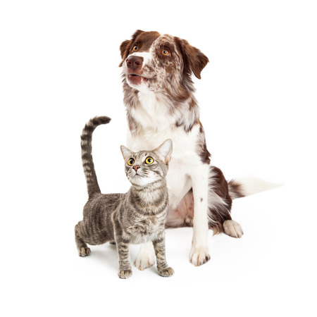 Attentive domestic cat and Border Collie dog together over white background looking up Stock Photo