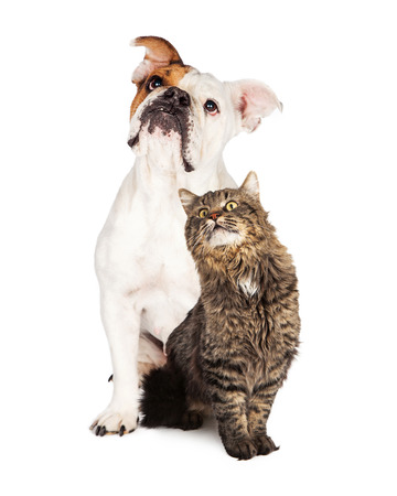 Adult Bulldog and tabby cat sitting together looking up over white background