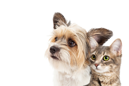 Closeup of mixed small breed dog and tabby cat looking up together over white with copy space