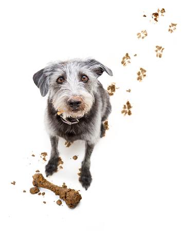 obediencia: Mal perro traer hueso fangoso dentro después de excavar y seguimiento huellas sucias en el piso Foto de archivo