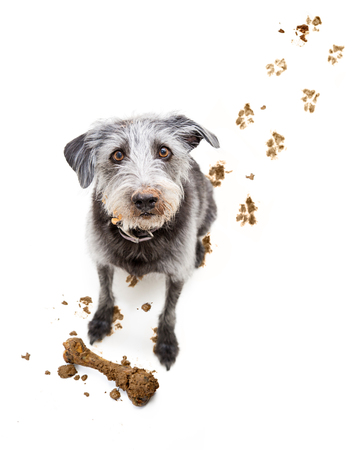 Bad dog bringing muddy bone inside after digging it up and tracking dirty footprints on floor Stockfoto