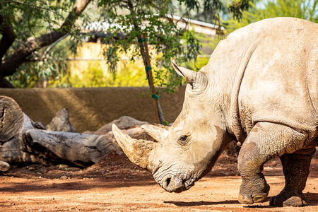PHOENIX, ARIZONA, USA - March 23, 2017: The Phoenix Zoo welcomes a new 20-year-old female white rhinoceros named LouLou that was transferred from the San Diego Zoo Safari Park.