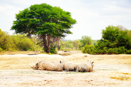 Three large white rhinoceros lying down together in Kruger National Park, South Africa