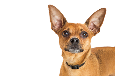 Close-up portrait of brown color Chihuahua crossbreed dog with white copy space Imagens