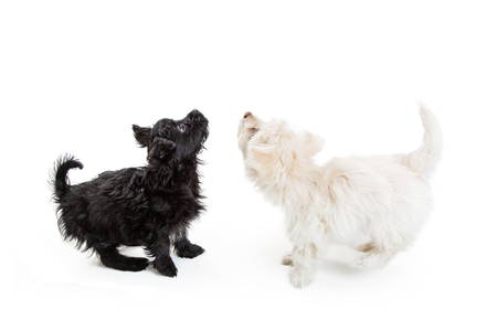 small dog: Black and white Maltese crossbreed puppy dogs looking up into blank white copy space