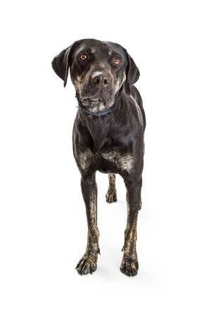 Large mixed breed dog with black fur standing over white background