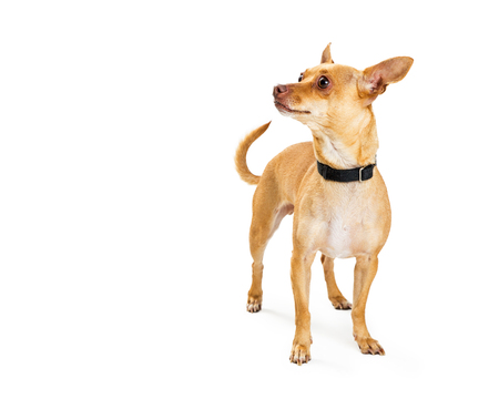 Cute Chihuahua breed dog standing and looking to side into blank copy space Stock Photo