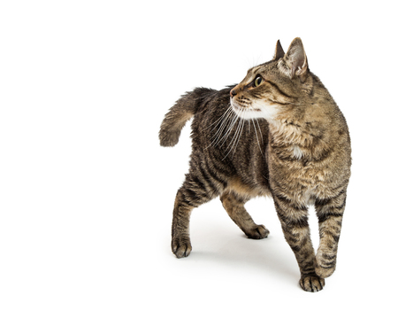 Pretty tabby cat walking on white, looking to side Stock Photo