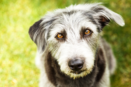 Pretty mixed terrier breed dog sitting on green grass and looking up into camera