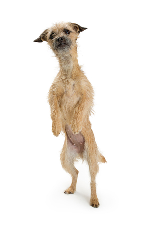 Funny photo of a cute Border Terrier crossbreed dog standing up tall on hind legs