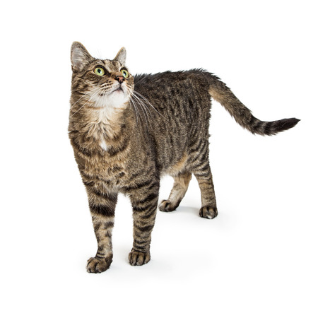 Pretty tabby cat standing on white background looking up