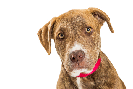 Close-up portrait of cute large breed puppy with red collar and brindle coat