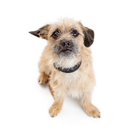 Cute Border Terrier crossbreed dog sitting on white looking up with