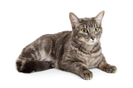 tabby cat: Beautiful gray and black tabby cat lying down on white background.
