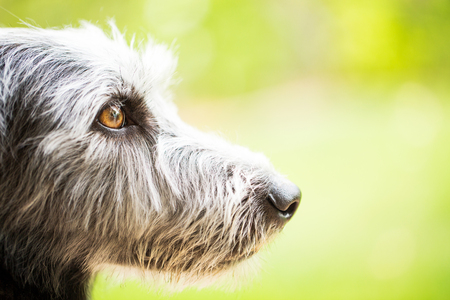 Side view of the face of a mixed terrier breed dog with room for text in a blurred green nature background Stock Photo