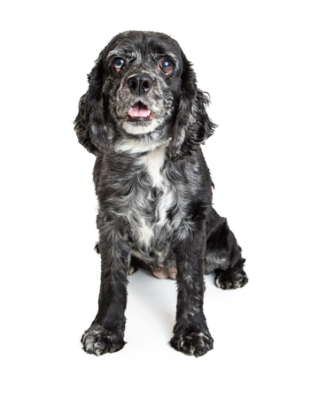 Cute and happy Cocker Spaniel crossbreed dog with black coat sitting on white background