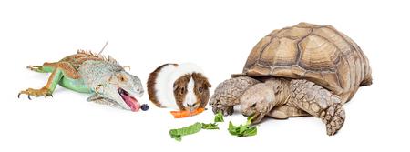 Big tortoise on white background eating lettuce