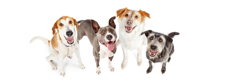 Overhead view of four happy mixed breed dogs looking up and smiling Imagens