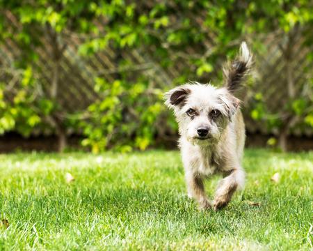 Cute mixed small breed dog running towards camera on green grass yard during springtime Imagens