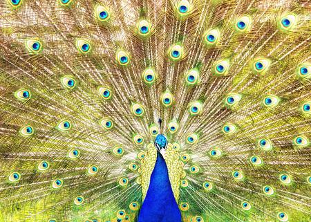 깃털의 그의 정교한 기차를 패닝 남성 인도 공작의 근접 촬영 스톡 콘텐츠