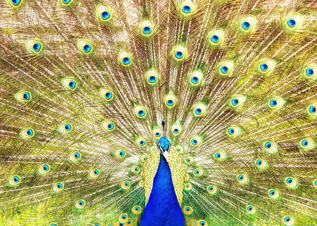 Closeup of male Indian peafowl fanning his elaborate train of feathers