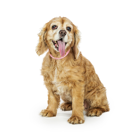 Senior Cocker Spaniel breed dog sitting on white with tongue out and tired expression Banco de Imagens