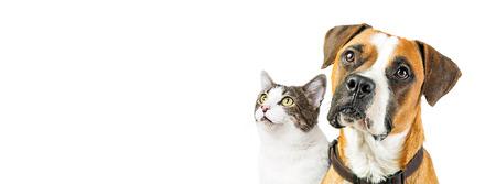 Close-up van de aandachtige gemengde hond van de rassenbokser en kat die samen omhoog in lege witte exemplaarruimte kijken op een horizontale website of sociale media banner.