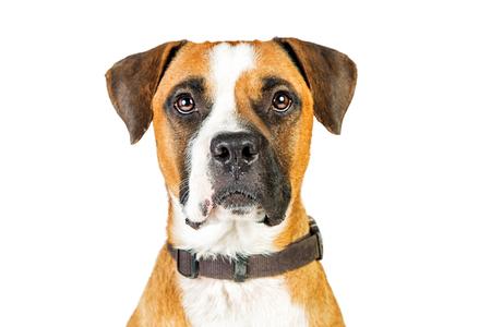 Cane misto della razza del pugile del primo piano che guarda in avanti. Isolato su bianco Archivio Fotografico - 84392400