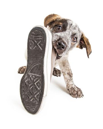 Funny photo of a naughty young puppy dog stealing an old dirty shoe to chew on it Foto de archivo