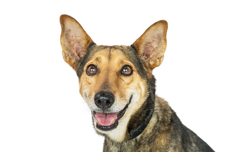 Closeup photo of a shepherd and Corgi mixed breed dog with happy smiling expression Imagens