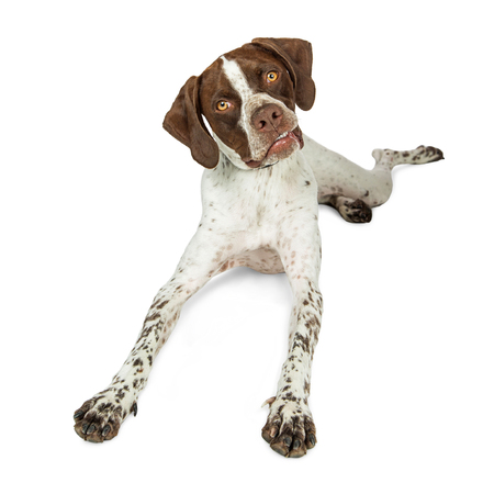 Shorthaired Pointer breed dog lying down on white, tilting head with funny expression