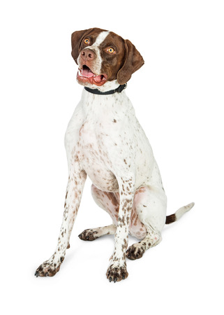 Shorthaired Pointer dog sitting on white background, looking to side with happy expression Reklamní fotografie - 82675134