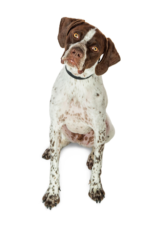 Obedient Shorthaired Pointer breed dog sitting on white looking into camera tilting head. Banco de Imagens