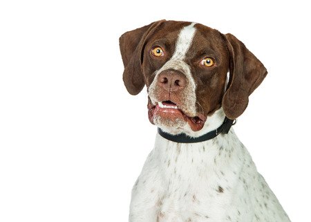 Closeup portrait of a beautiful Shorthaired Pointer breed dog looking into camera, isolated on white Reklamní fotografie - 82673958